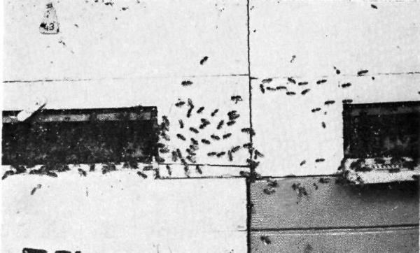 Пчёлы перебегают в соседнюю семью с маткой («дезертирство»).