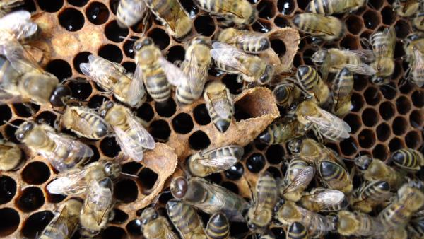 Перестройка пчелиной ячейки в маточник.